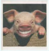 Smiley Pig